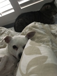 cat and dog under the covers