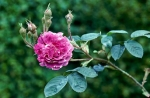 William Lobb Rose