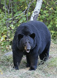 Black Bear, fat and happy