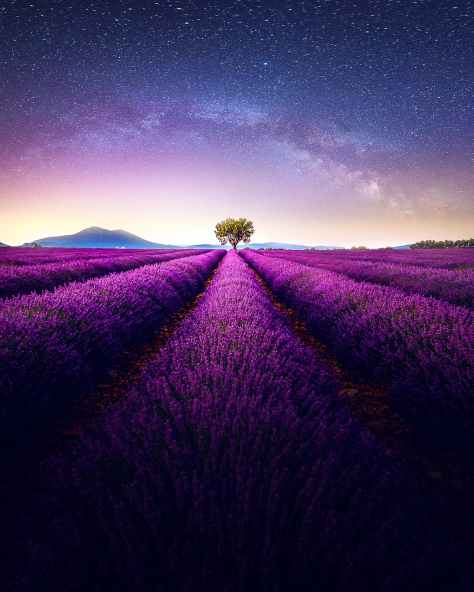 lavender field under gray and blue skies at night