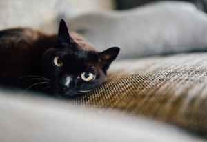 black cat cat cat eyes couch